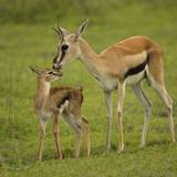 Thompson's Gazelle with Young