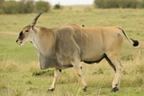 Common Eland Portrait