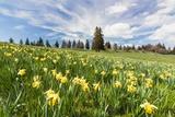 Wild Daffodil on Alpine Meadow
