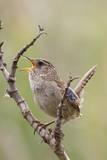 Marsh Wren Calling