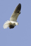White-Tailed Kite Hunting