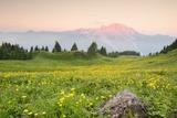 The Mount Bivera Emerges Dawn behind a Spectacular Bloom of Yellow Buttercups  Alpi Carniche   Friu