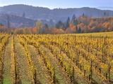 Autumn Colored Pinot Noir Grape Vines