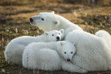 Polar Bear and Cubs by Hudson Bay  Manitoba  Canada