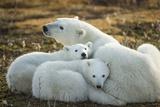 Polar Bear and Cubs by Hudson Bay  Manitoba  Canada