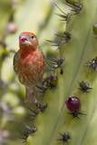 House Finch Eats Cactus Fruit