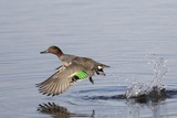 Green-Winged Teal Drakes Takes Off