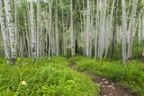 Hiking in the Aspen Trees Forest on the Trail to the American Lake