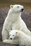 Polar Bear and Cub by Hudson Bay  Manitoba  Canada