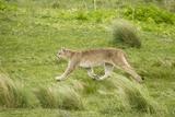 Wild Puma in Chile