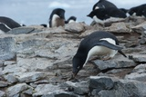Adelie Penguin Gathering a Pebble