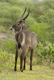 Common Waterbuck Grazing