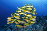 School of Yellow Snappers