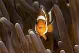 Clown Fish Portrait in Anemone