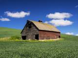 Old Red Barn in a Field of Spring Wheat