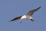 Elegant Tern Flys with Pipefish in it's Bill