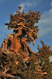 Evening Light on Weathered Whitebark Pine Tree