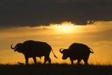 African Buffalo at Sunset
