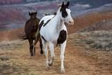 Horses at Full Gallop