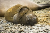 Southern Elephant Seal Cub