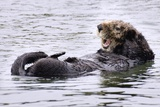 Southern Sea Otter Floats with Paws out of the Water