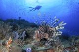 Lion Fish and Scuba Diver