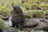 Antarctic Fur Seal at Haul-Out
