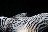 Zebra Anemonie Shrimp