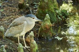 Night Heron;