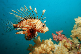 Lionfish or Turkeyfish (Pterois Volitans)  Indian Ocean  Andaman Sea