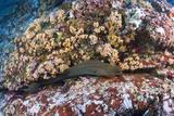 Panamic Green Moray Eel (Gymnothorax Castaneus)