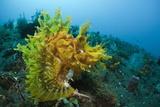 Yellow Weedy Scorpionfish (Rhinopias Frondosa)  Alam Batu  Bali  Indonesia