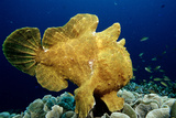 Giant Frogfish (Antennarius Commersonii)  Pacific Ocean  Panglao Island