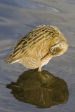 Light-Footed Clapper Rail Grooming