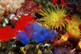 Blue Sea Squirts or Tunicates (Dendrophillia) and Yellow Cave Coral (Tubastrea)