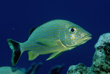 French Grunt (Haemulon Flavolineatum) Caribbean