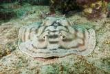Reticulated round Ray (Urobatis Concentricus)