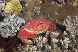 Splendid Pebble Crab (Etisus Splendidus)