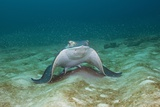 Bat Ray (Myliobatis Californica) Papier Photo par Reinhard Dirscherl
