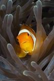 Clown Anemonefish (Amphiprion Ocellaris)  Raja Ampat  West Papua  Indonesia