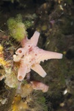 Sponge in Jellyfish Lake  Micronesia  Palau