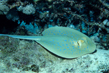 Blue-Spotted Ribbontail Ray (Taeniura Lymma)  Red Sea