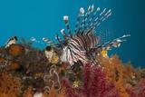 Lionfish (Pterois Volitans)  Raja Ampat  West Papua  Indonesia