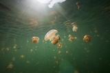 Mastigias Jellyfish (Mastigias Papua Etpisonii) Endemic to Jellyfish Lake  Micronesia  Palau