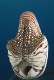 Chambered Nautilus (Nautilus Belauensis)  Micronesia  Palau
