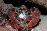 Homarus GammarusLobster Atlantic Ocean  Norway