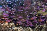 Slender Basslet School in Coral Reef (Luzonichthys Whitleyi)
