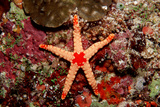Red-Mesh Starfish (Fromia Monilis)  Indian Ocean