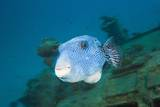 Starry Puffer over Maldive Victory Wreck