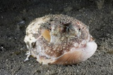 Coconut Octopus Hiding in a Shell (Octopus Marginatus)  Lembeh Strait  North Sulawesi  Indonesia